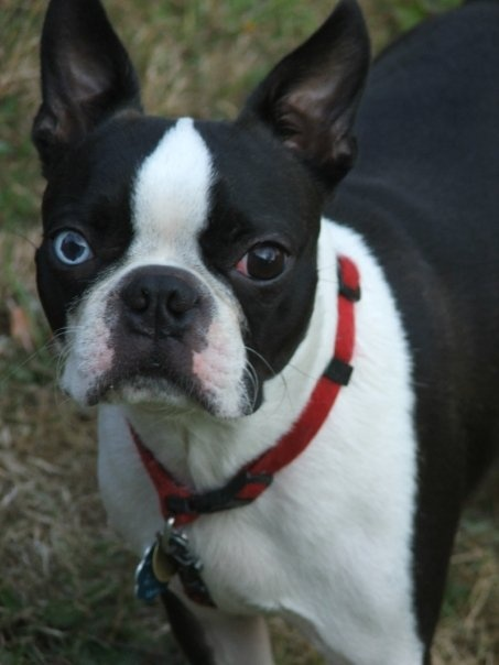 Joe...One Blue Eyed Boston Terrier | Cute Animals ...