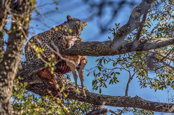 A hungry leopard