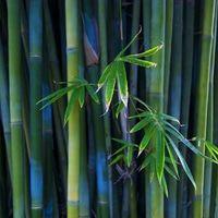 Benih Bambu biru