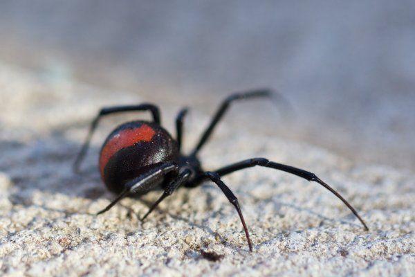 Redback spider venom – den røde enkes gift   Ingeniøren