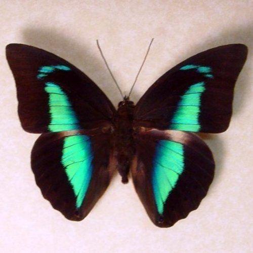 Beautiful Butterflies, Beautiful Colors, Meander Amphimacus, Colors Design, Butterflies Blue, Butterflies Black, Butterflies Moth, Butterflies Bugs, Butterflies Beautiful