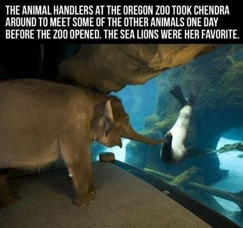 Elephant loves sea lions