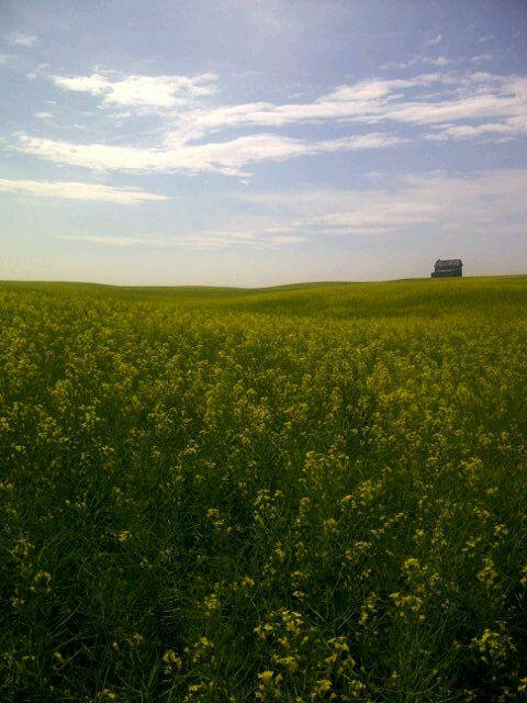 Beautiful, endless canola field seen en route to Tobin Lake, #Saskatchewan. Pic taken by The Saskatchewanderer (www.saskatchewanderer.ca).