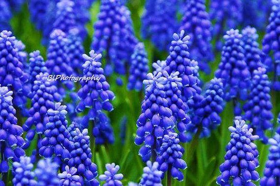 Grape Hyacinths Fine Art Photography Print by TheFancifulGardener, $6.00