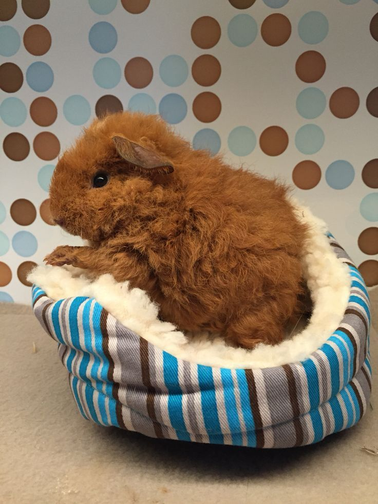 HoneyBear the texel guinea pig loves her cuddle cup!