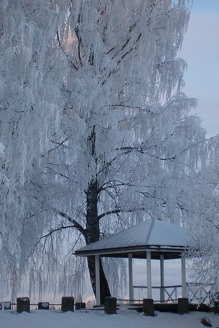 Weeping Willow -- a favorite of mine in Summer  Winter   This is just sooooo beautiful.
