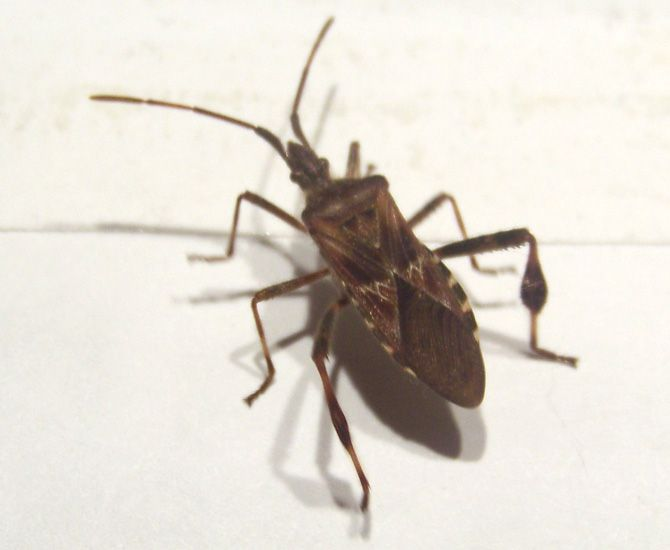 Western Conifer Seed Bug, one of the Leaf Footed Bugs in the family Coreidae.  The Brown Marmorated Stink Bug is in the family Pentatomidae, but both families are considered True Bugs in the suborder Heteroptera.  Like Brown Marmorated Stink Bugs, the Western Conifer Seed Bugs will enter homes to hibernate as the cooler weather arrives.  They will not harm you, your pets or your home.  They just want to come in out of the cold.