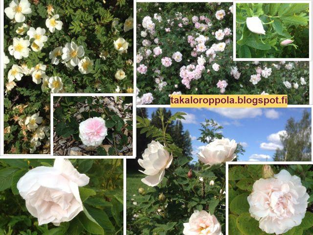 Takalo-Roppolan puutarha- ja mansikkatila: RUUSUT- white roses