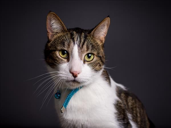 Benji is a gorgeous and sweet cat looking for a loving home that has lots of time and patience. Come meet Benji in Brisbane! http://bit.ly/2sukt6W
