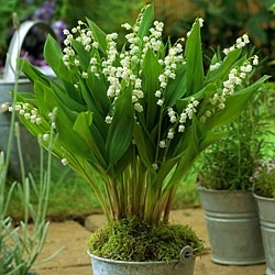 Giant-lily-of-the-valley : Larger than the delicate, sweet-smelling original - produces blooms that