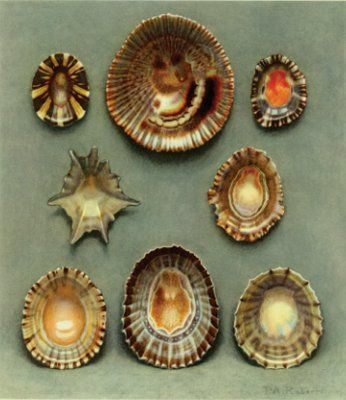 Sea Shells, Paul Robert, 1930