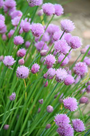 Chives love sun and is another great filler in a sun garden.  Deer don't like the smell and it might deter them from the flower bed.  :)