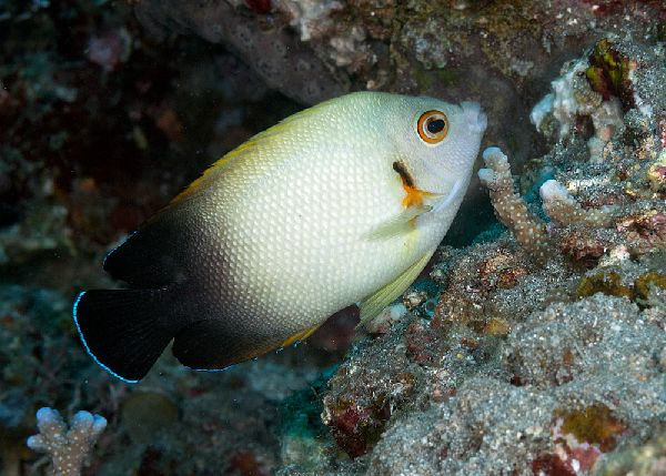 78 best images about delightful dwarf angelfish on for Jims exotic fish