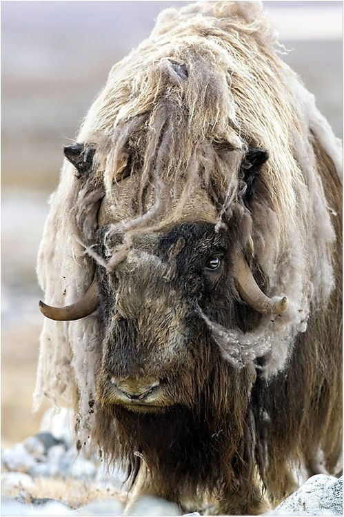Musk Ox-We saw these in Alaska. They are amazing animals.