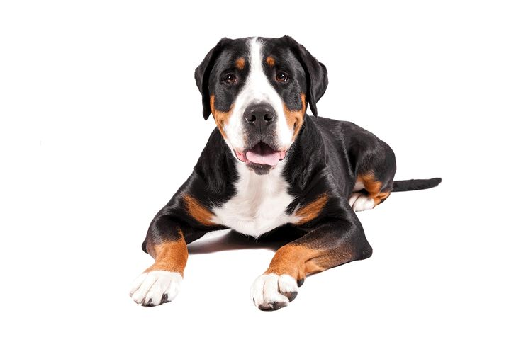 A Greater Swiss Mountain Dog