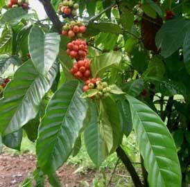 Nombre científico o latino: Coffea arabica Familia: Rubiaceae. Origen: Etiopía, regiones tropicales y subtropicales de África.
