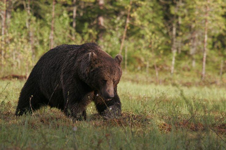 På 1970-tallet var brunbjørnen så godt som utryddet her i landet. Nå er arten tilbake, men i hvilken grad er dagens bjørner i slekt med de som fantes her i gamle dager?