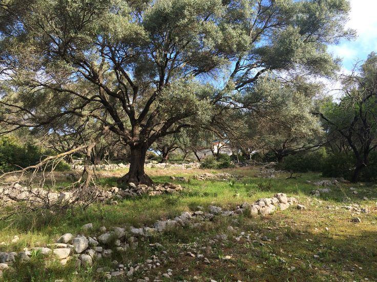 Olive trees on the island