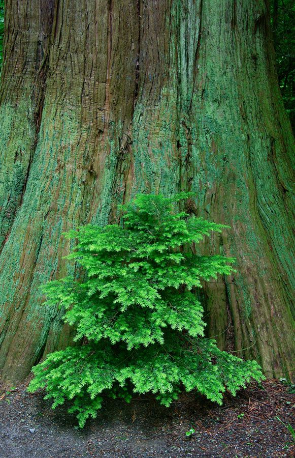 Young tree sprouting at the base of a tall cedar in Stanley Park.