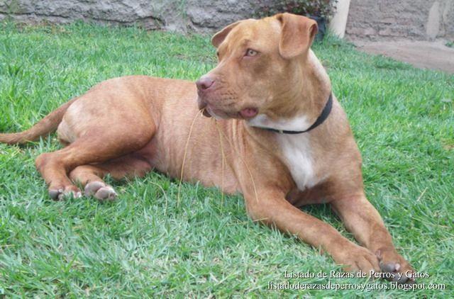 Listado de Razas de Perros y Gatos. Todos los tipos...: Raza de Perro American Pit Bull Terrier (Pit bull ...