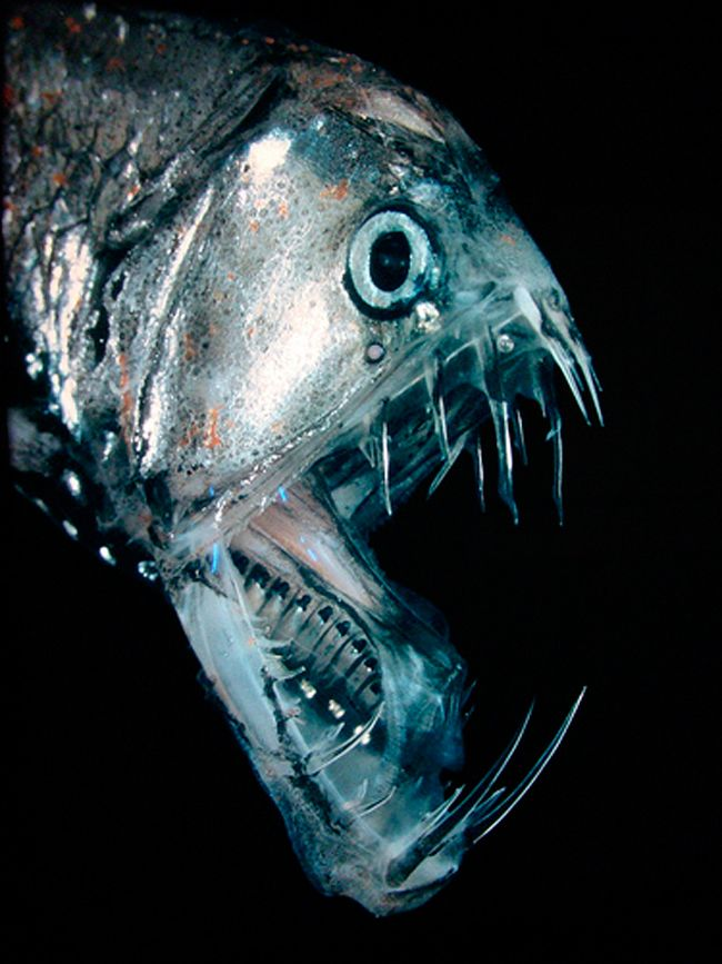 Le Poisson-Ogre  Là où il vit, entre 500 et 5 000 m de profondeur, la nourriture est tellement rare qu'il doit pouvoir manger à peu près tout ce qu'il rencontre. Proportionnellement parlant, c'est l'animal qui possède les plus grandes dents au monde, il ne peut même pas fermer complètement sa mâchoire. Contrairement aux autres espèces qui vivent dans les profondeurs, il est puissant et robuste, lui, c'est un vrai prédateur.