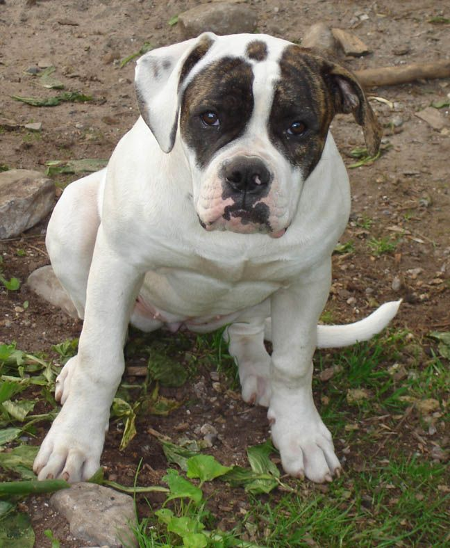 american french bulldog best 25 american bulldog mix ideas on pinterest mix 5877