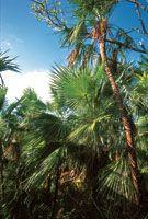 Las palmas abundan en los bosques de las zonas más altas de la isla de Providencia.