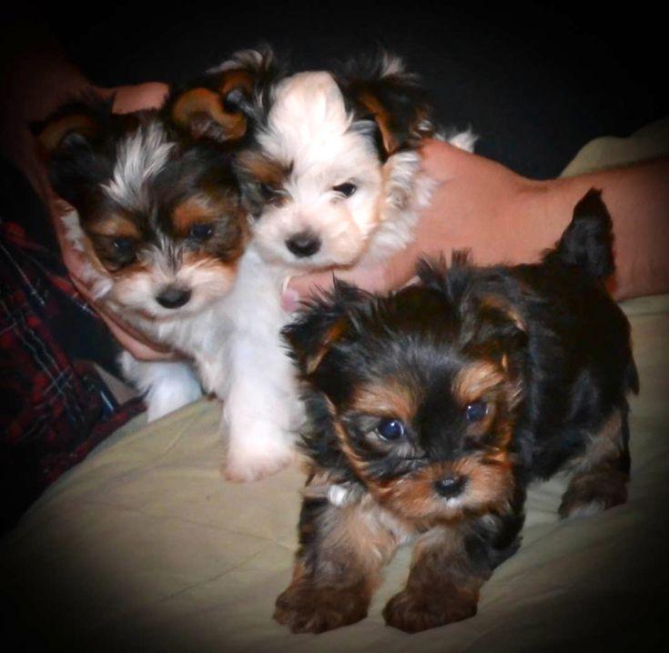 Teacup Yorkies for Sale in TN| Teacup Parti Yorkies for Sale in TN| Yorkie Breeder in Tennessee| Parti Yorkie Puppies for Sale | Baby Doll Yorkies for Sale