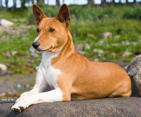 "...""The Basenji has no dog smell and, in fact, grooms itself very much  like a cat. This breed also sheds little to no hair and often makes a  good choice of pet for people prone to allergies. Very little grooming  is required with the Basenji..."""