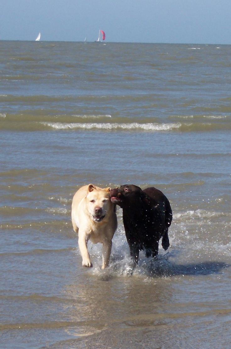 My labradors at the beach (2006)