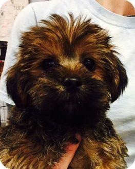 Media, PA Shih Tzu/Yorkie, Yorkshire Terrier Mix. Meet