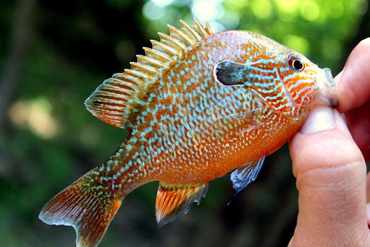 Sun perch fish fishes pinterest fish featured and sun for Perch fish facts