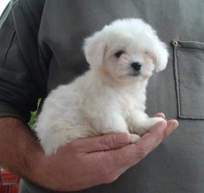 Small Hypoallergenic Dog Breeds | Breeds of small dogs : best small dog breeds: Maltese small dog breed pups