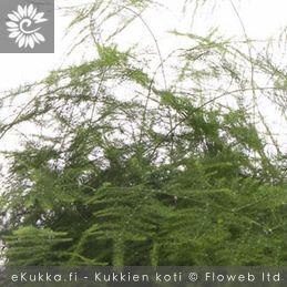 Unelma (plumosus), Asparagus setaceus