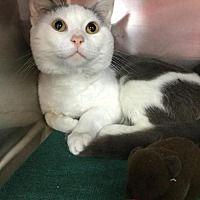 Martinsburg, West Virginia - Domestic Shorthair. Meet Kyon, a for adoption. https://www.adoptapet.com/pet/20970366-martinsburg-west-virginia-cat