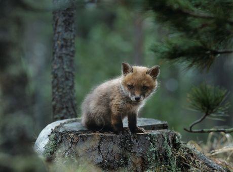 Pyšný kráľ chodí v lese, na hlave strom si nesie. Viete, ktoré lesné zvieratko? Uhádnete?