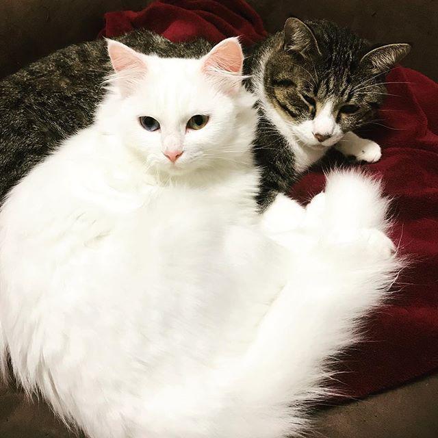 . ガブちゃん誰かにパンチ👊されたん? みたいな顔してます😂寝起きです🙄 . もんちゃんは相変わらずの ふわふわ美人💗 ガブが大好きなもんちゃんは いつもガブの隣にいます😳 . #白黒 #ハチワレ #茶トラ #キジシロ #黒猫 #白猫 #猫 #cat #cats #鍵しっぽ #ペルシャ猫 #MIX  #雑種 #にゃんすたぐらむ #ねこすたぐらむ  #ねこ部 #ねこ #デブ猫 #愛猫 #多頭飼い #猫好きさんと繋がりたい #保護猫 #貰い猫  #猫のいる暮らし #catstagram #もんちゃん #ガブ #仲良し #寝起き