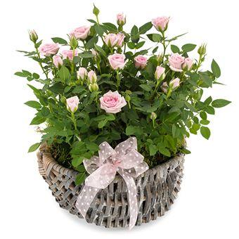 Søte roser fra Euroflorist. Om denne nettbutikken: http://nettbutikknytt.no/euroflorist-no/