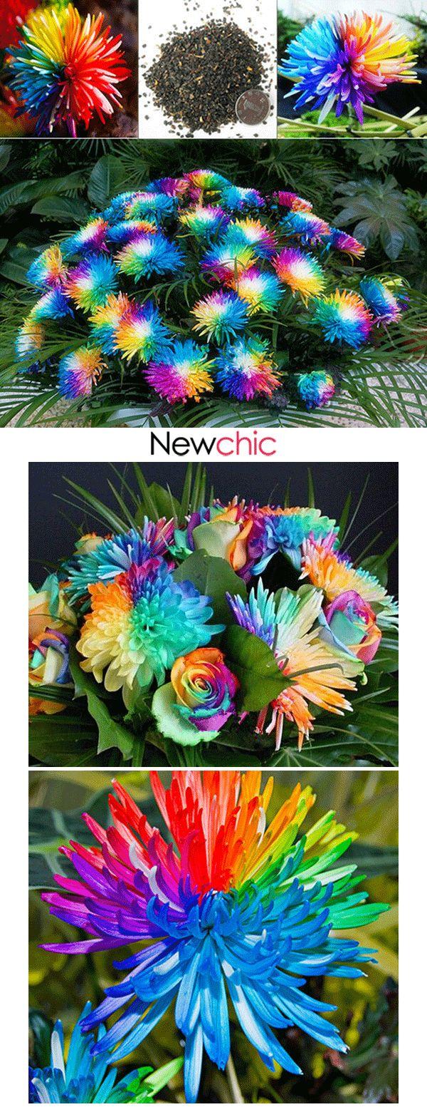 【60% off】20Pcs Rainbow Chrysanthemum Flower Se…