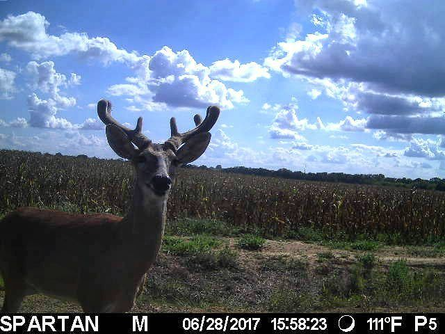 We have a frequent visitor on the game camera. I think he knows we're watching... �� . . . #game #camera #pic #outdoors #deer #hunt #corn #field #texas #nature #outside #picoftheday #deerofinstagram http://misstagram.com/ipost/1547968119209607871/?code=BV7fM2NHkK_