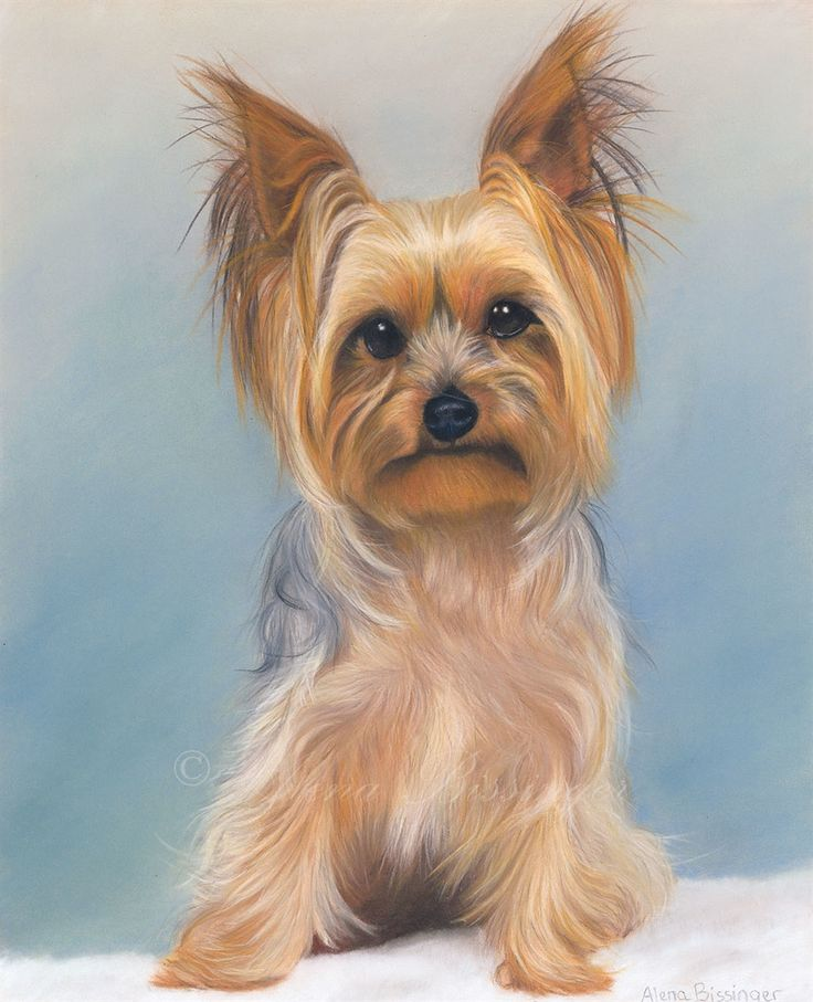 Yorkshire Pudding, pastel pencil portrait of a Yorkshire Terrier by Alena Bissinger