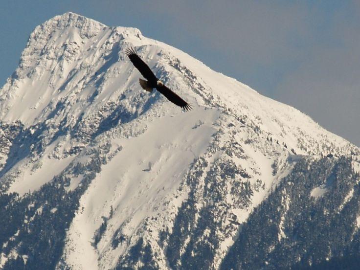 Fly like an eagle - Chilliwack, British Columbia
