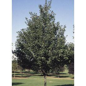 8 9 Gallon Sienna Glen Maple Shade Tree L22208 Nursery