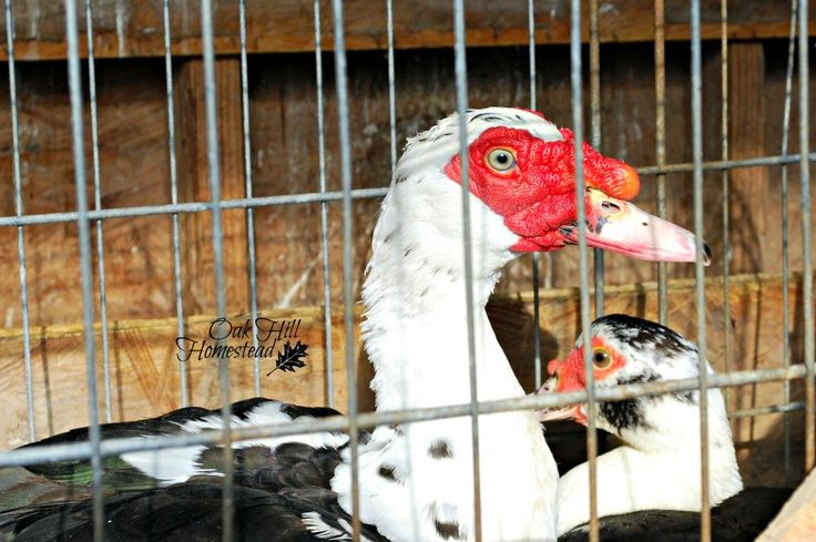 The latest addition to our homestead: Muscovy ducks.