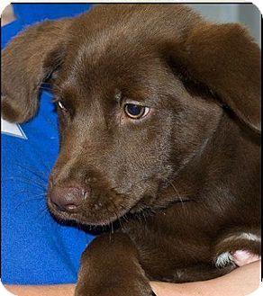 Northwood, NH - Labrador Retriever Mix. Meet Tonka a Puppy for Adoption.