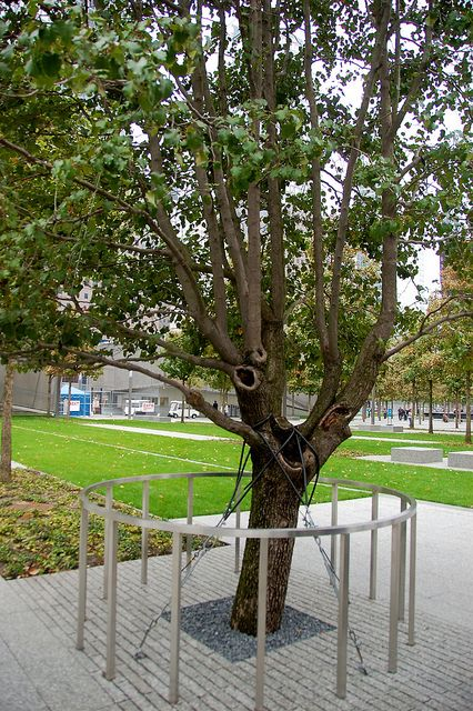 Survivor Tree at 9/11 Memorial - unexpected inspirational story