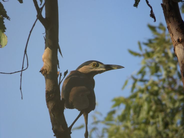An ambitiously proactive Nankeen Night Heron
