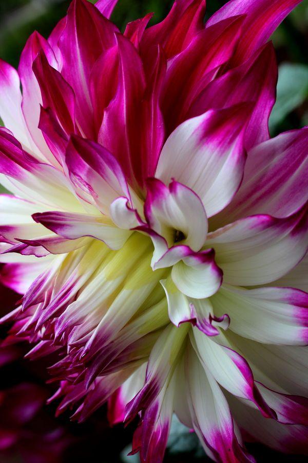 les 77 meilleures images du tableau dahlias sur pinterest belles fleurs fleurs de dahlia et. Black Bedroom Furniture Sets. Home Design Ideas