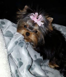 teddy bear puppies for sale in michigan 17 best ideas about yorkie teacup puppies on pinterest 3882