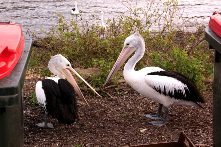 Watch out lads, there's a Pelican fight starting! Hawkesbury River, New South Wales.